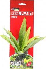 Azoo rostlina Microsorium 20 cm AZ98014
