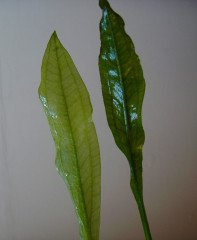 Projevy nedostatku živin u rostlin