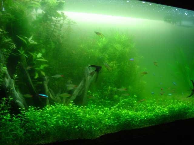 zeleny zakal v akvariu