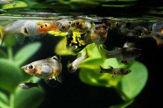 Vyrobte si doma jednoduše živé krmení pro rybičky – Jak líhnout Artemii