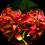 červené akvarijní rostliny