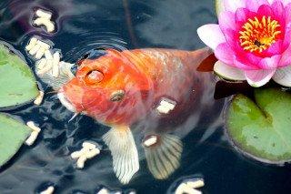 Jak na krmení ryb vzahradním jezírku