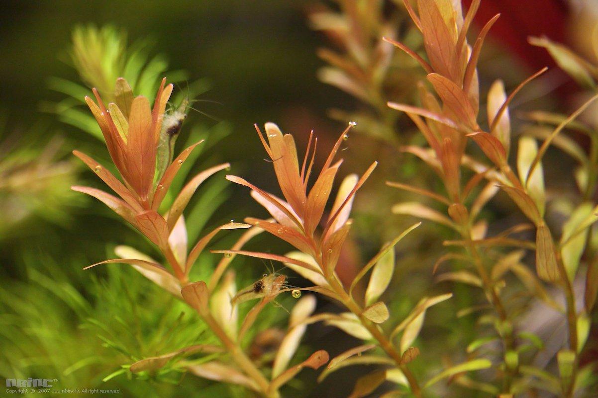 Rotala Rotundifolia Rotala rotundifolia