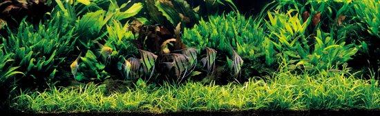 skalary amazonske