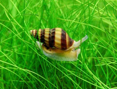 akvarijni sneci