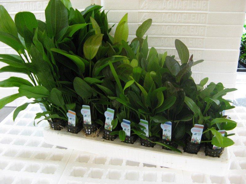 v?echny rostliny druhu anubias